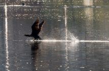 Kormoran, Fischfressende Vögel, Abschuss Kormoran