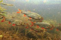 Fisch des Jahres 2017 in Liechtenstein, Rotfeder