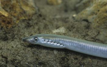 Bachneunauge, Fisch des Jahres 2017 Schweiz