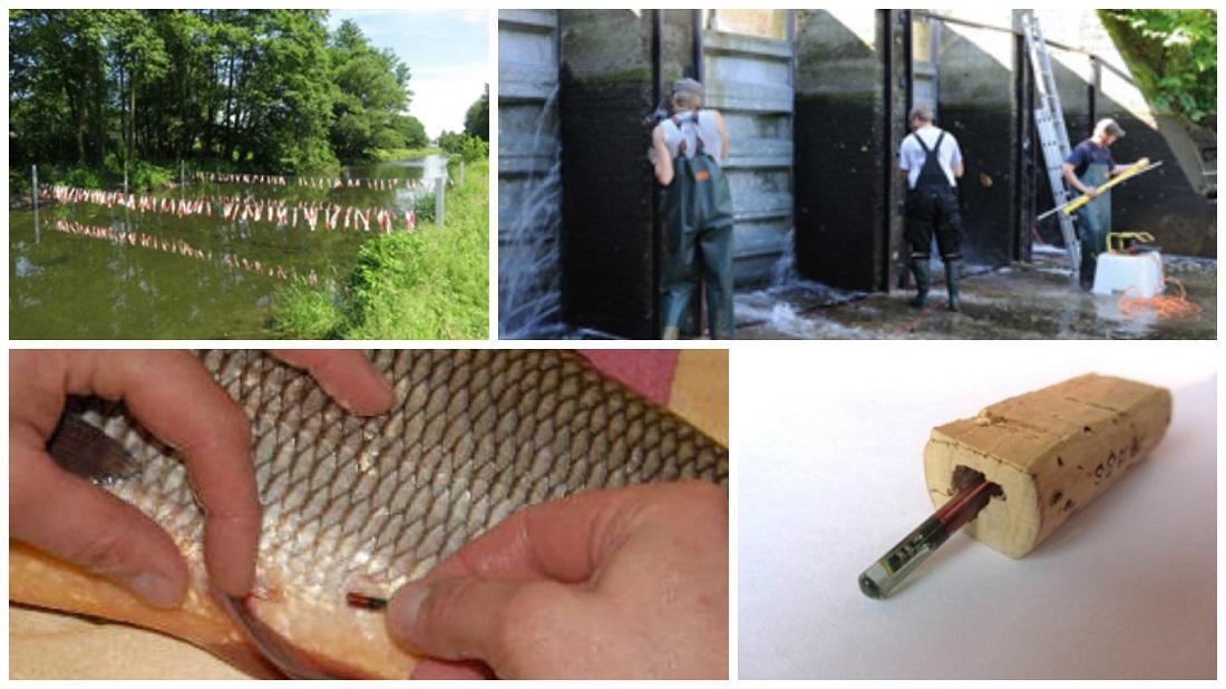 Taging, Transponder, Rhein, Fischzählung