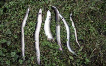Fischabstieg, Kraftwerk Durchgängigkeit, AFV