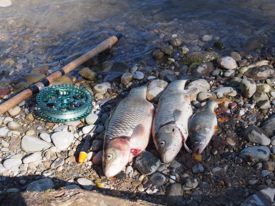 AFV, Fischerei im Aargau, Flussfischerei Aargau, Verband für Fischerei, Aargauischer Fischereiv Verband